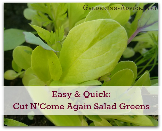 Cut And Come Again Salad Greens