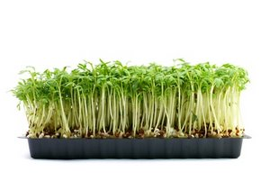 growing garden cress