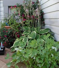 garden shade plants in containers