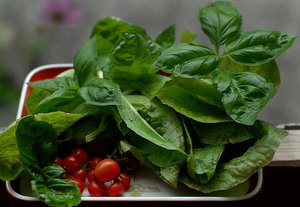 basil herb and tomatoes