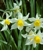 growing bulbs, daffodil bulbs