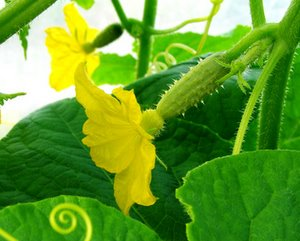 female cucumber flower