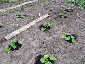 growing pumpkins from pumpkin seeds
