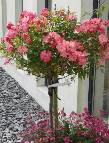 Growing Roses In Containers Rose Bush Care For Beautiful