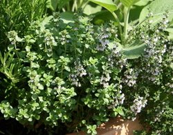 growing thyme in a container
