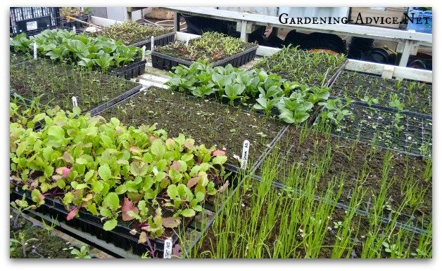 starting seeds for planting into raised beds