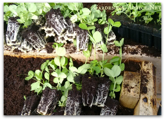Peas started in cell trays
