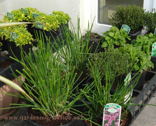 selection of herb garden plants