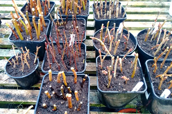 potted hardwood cuttings