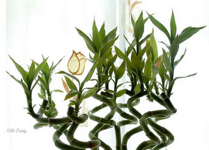 Indoor Bamboo Plant
