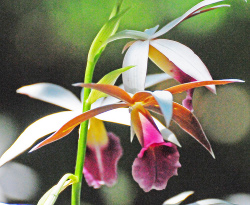 nun orchid flower