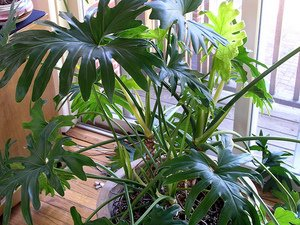 Philodendron house plant