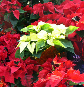 Red and White Poinsettias - a nice contrast!