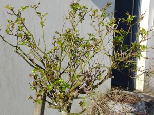 Pruning Rose Bushes Learn How To Prune Roses In A Few