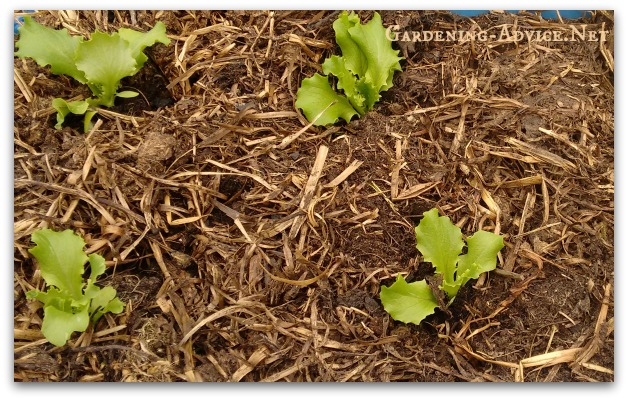 Lettuce mulched with compost in raised beds