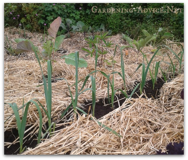 Mulching helps the soil and reduces weed growth