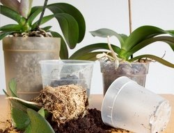 repotting phalaenopsis orchids