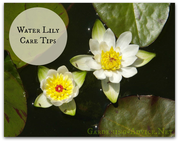 water lily care tips